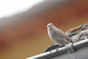 Codirosso Spazzacamino verso il nido
