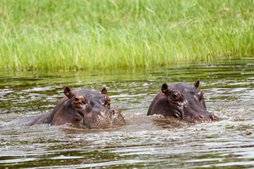Hippo Duo im Wasser