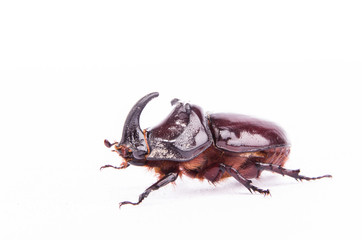 Rhinoceros beetle (Oryctes nasicornis) isolated on white