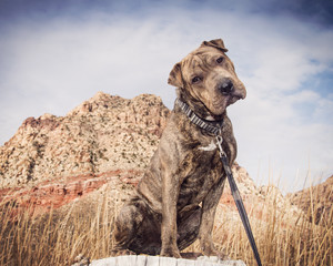 Mixed breed rescue posed by desert rocks