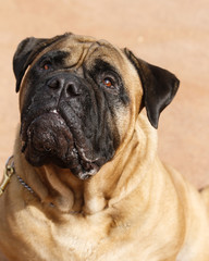 Mastiff natural profile portrait