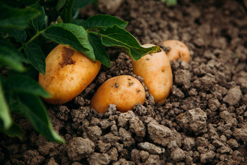 Potato in garden