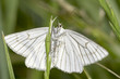 Black-veined Moth / Siona lineata