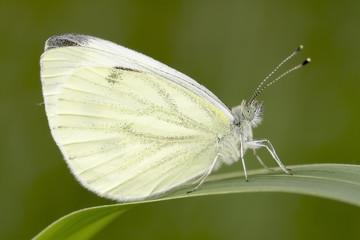 The Green-veined White / Pieris napi