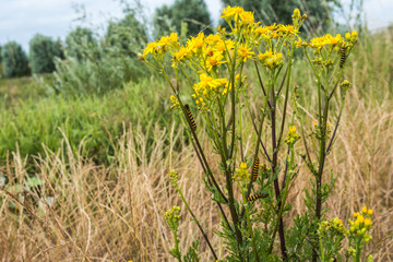 Yellow flowering Ragwort plant with caterpillars.