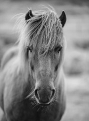 Portrait of Icelandic horse in black and white © Aleksandar Mijatovic