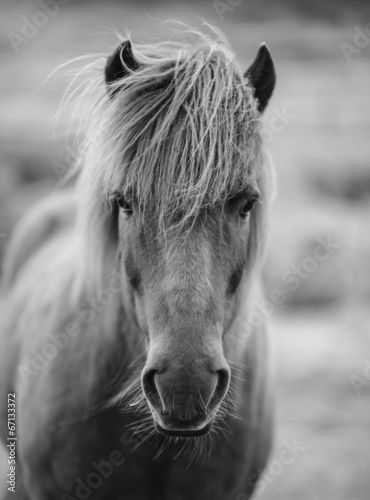 Leinwandbild Motiv Portrait of Icelandic horse in black and white