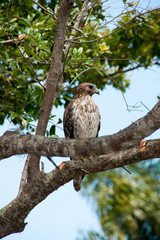 Red Shouldered Hawk Perched on a Branch