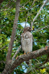 Watchful Red Shouldered Hawk