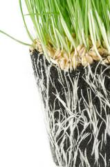 Wheat grass in pot