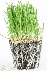 Wheat grass in pot