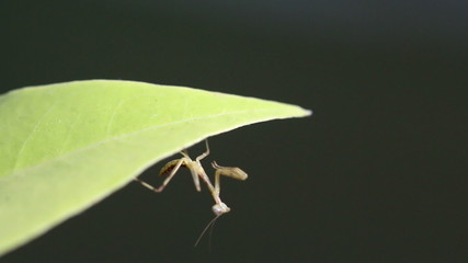 Praying Mantis dancing on green leaf, Macro close up mode.