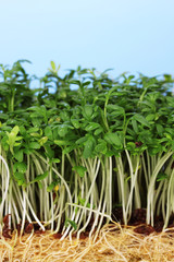 Fresh cress salad on blue background