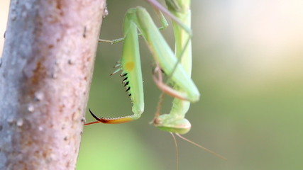 Praying Mantis on Tree branch, Macro close up mode.