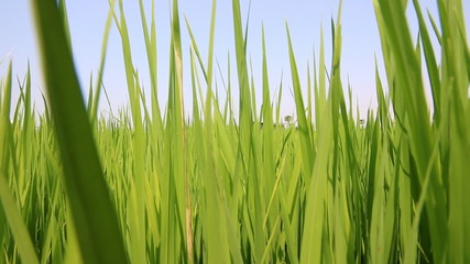 Dolly shot Green paddy rice field, Thailand HD Clip.