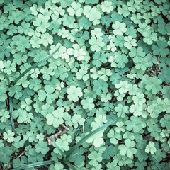 Bear Clover Leaf Green