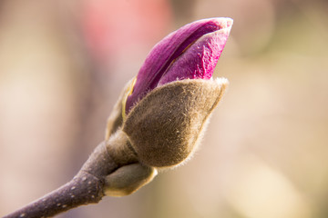 Pink magnolia bud on a tree branch