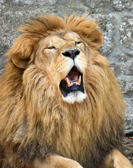 Angry African lion
