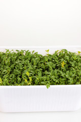 Fresh garden cress in white plastic box close-up isolated
