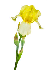 yellow iris isolated on white background