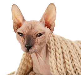 Sphynx hairless cat in warm scarf isolated on white