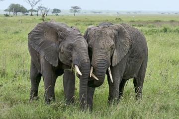 Tansania-Elefant-14966