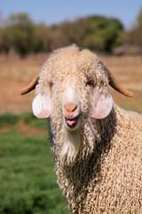 Angora goat portrait