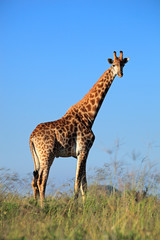 A large giraffe bull against a blue sky