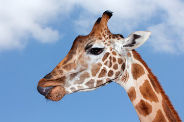 Portrait of a giraffe against a blue sky