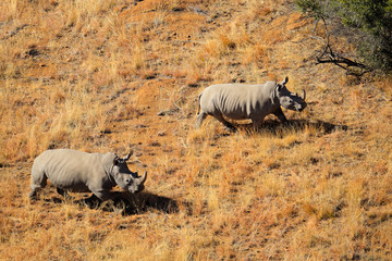 Aerial view of white rhinoceros pair in grassland