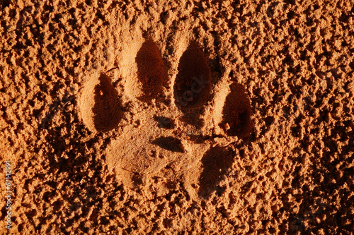 Lion paw imprint in soft sand