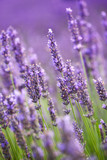 Lavander flowers