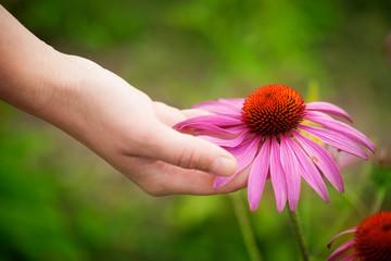 Hand holding echinacea