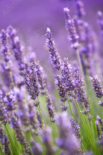 Foto op Plexiglas Lavendel Lavander flowers