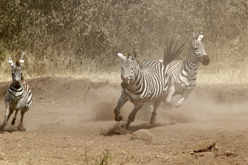 Herd of zebras gallopping