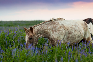 skewbald horse is early in the morning grazed on a meadow
