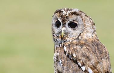 Tawny owl, strix aluco.