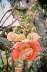 Cannonball tree, special significance in Buddhist religion