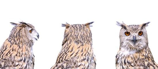 Isolated eagle owl.