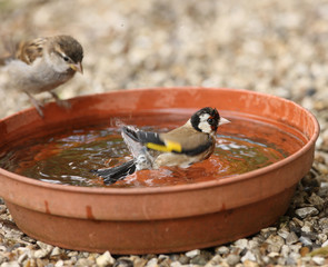 Close up of a young Goldfinch having a bath