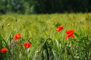 Coquelicots dans un champ de blé,Aisne