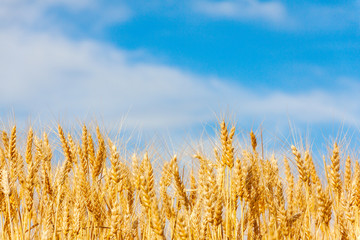 golden oat field against blue sky