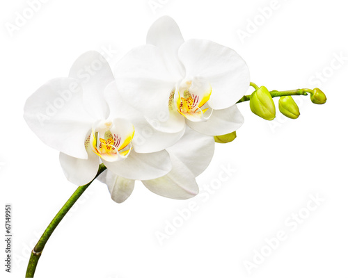 In de dag Orchidee Three day old orchid isolated on white background.
