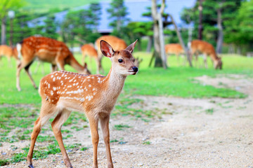 Sika Deer (Cervus nippon) fawn in Japan