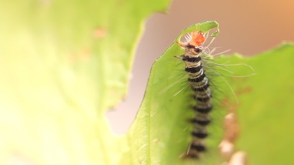 caterpillar eat green leaves, HD Clip.