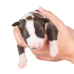 english bull terrier newborn puppy