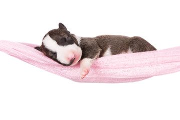 newborn english bull terrier puppy in a hammock