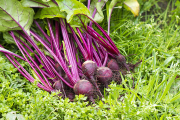 Freshly harvested red beets