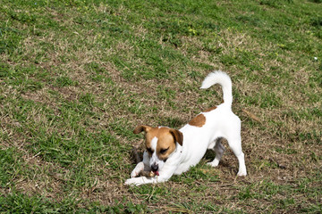 jack russell gnaws a wooden stick