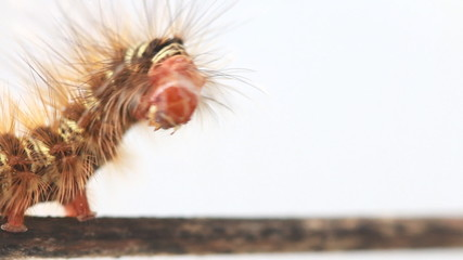 caterpillar walking on wood stick, HD Clip.